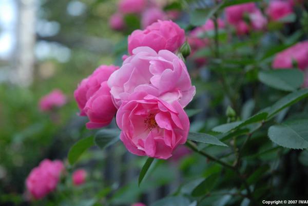 Roses_i